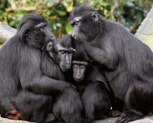Дружная семья горилл